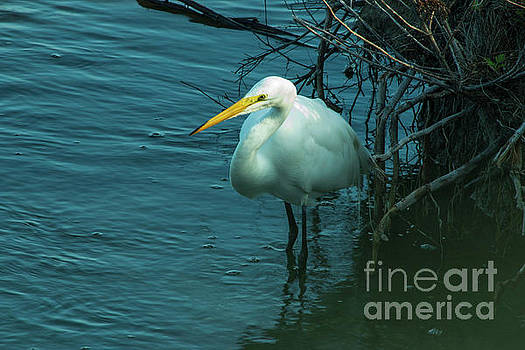 Great Egret by Sharon Mayhak