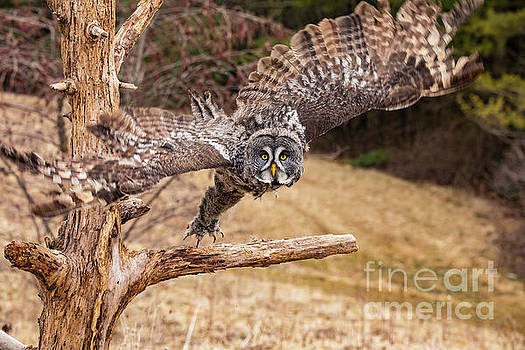 Great Gray Owl  Taking Off by CJ Park