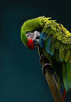 Great Green Macaw by KC Gillies