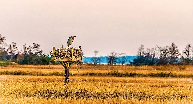 Great Heron on Osprey's Nest by Shawn M Greener