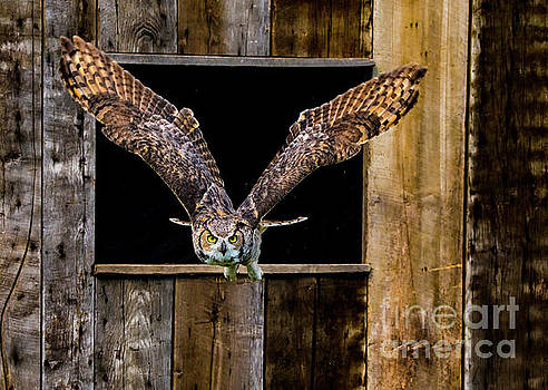 Great Horned Owl Flying Out Of The Barn by CJ Park
