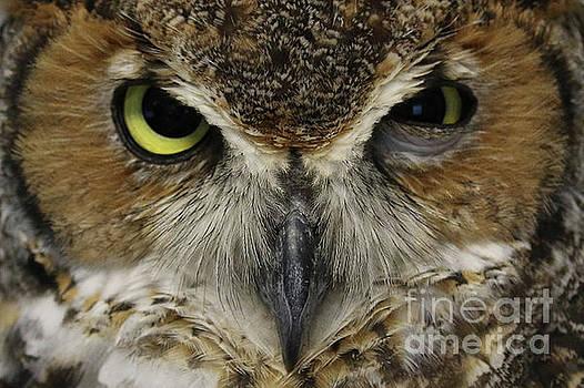 Great-horned Owl by Meg Rousher