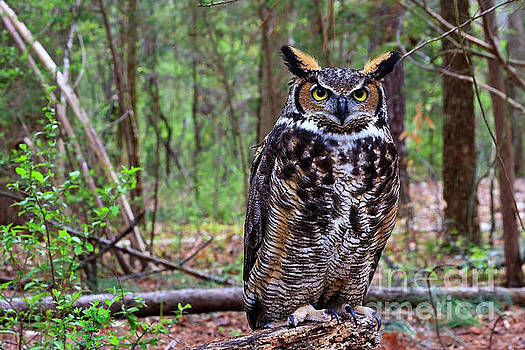 Jill Lang - Great Horned Owl Standing on a Tree Log