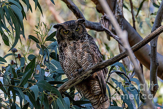 Great Horned Stare 420 by Craig Corwin