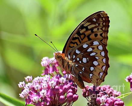 Cindy Treger - Great Spangled Fritillary On Swamp Milkweed