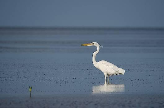 Great White Heron by James Petersen