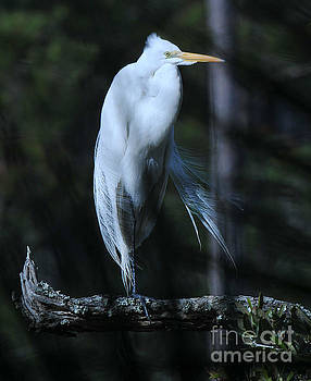 Dale Powell - Great White Heron Silky Feathers