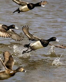 Greater Scaup Drake Taking Flight by Rick Grisolano Photography LLC