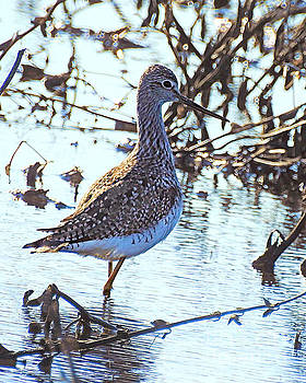 Greater Yellowlegs by Kathy M Krause