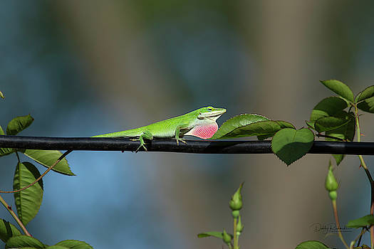 Green Anole Lizard by Debby Richards