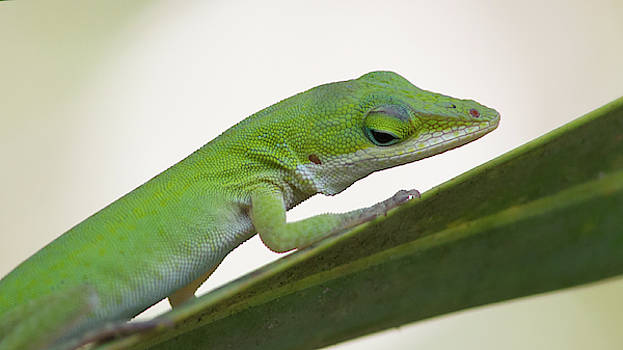 Paul Rebmann - Green Anole
