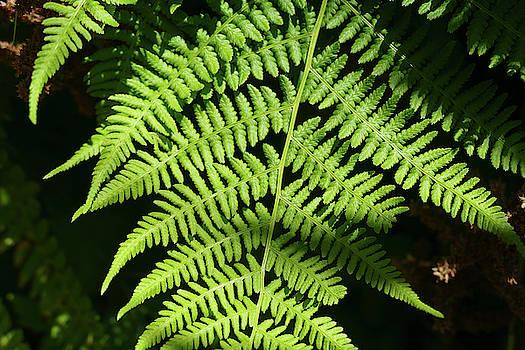 Green fern in a summer Seattle garden by Steve Estvanik