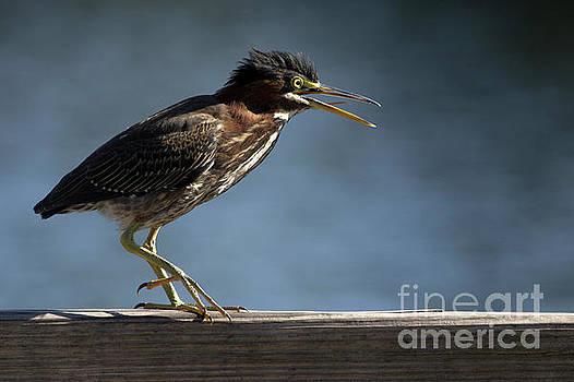 Green Heron by Meg Rousher