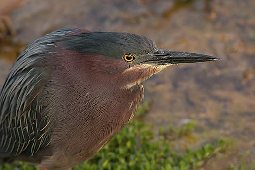 Paul Rebmann - Green Heron