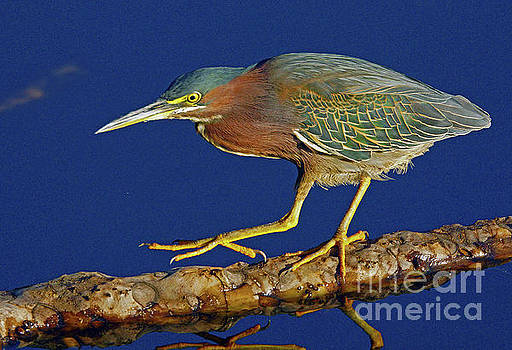 Green Heron Stepping Out  by Larry Nieland