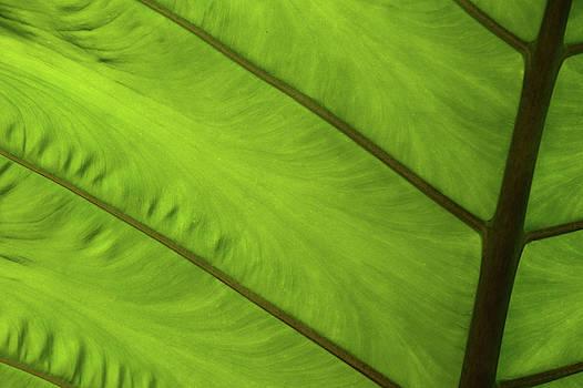 Green Leaf Markings iv by Helen Northcott