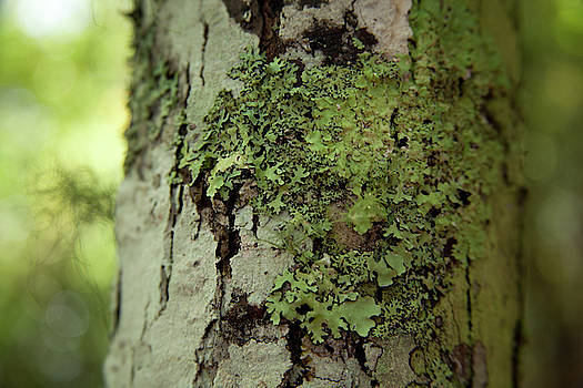 Green Lichen on Tree Bark by David Chasey