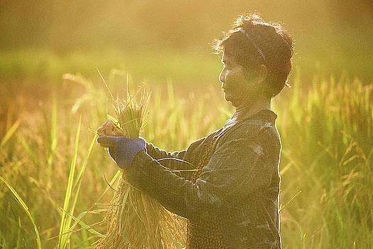 Green Rice Harvest 2 by Lee Craker