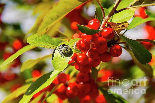 Bob Phillips - Green Stink Bug and Hawthorn Berries