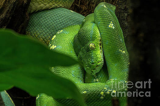 Green Tree Python by Arterra Picture Library