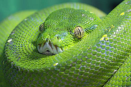 Green Tree Python by Steev Stamford
