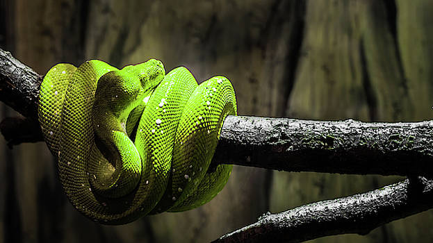 Green Tree Viper by Jeanette Fellows