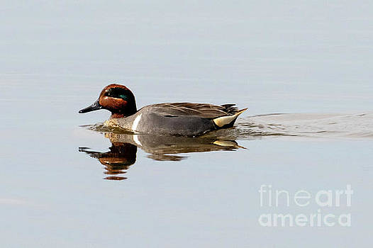 Green-Winged Teal Drake by Mike Dawson