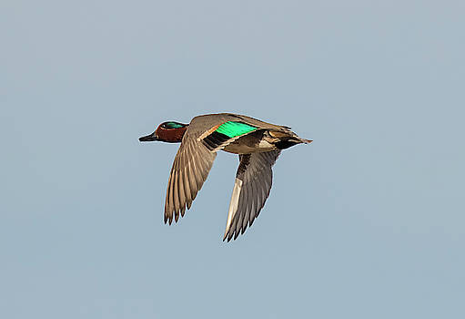 Loree Johnson - Green Winged Teal in Flight