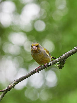 Greenfinch with the balls by Jouko Lehto
