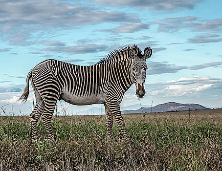 Grevy's Zebra by James Ekstrom