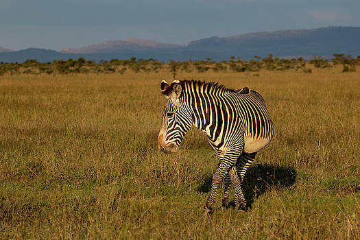 Grevy's Zebra by Thomas Kallmeyer