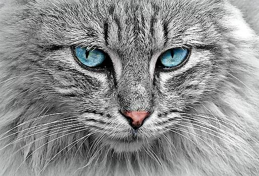 Grey cat with blue eyes by Top Wallpapers