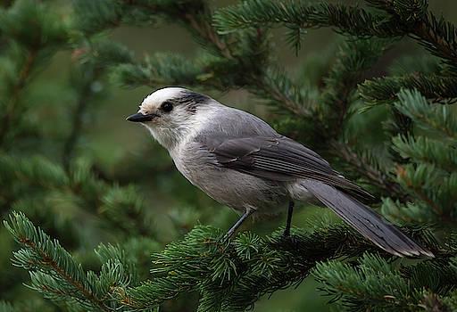 Grey Jay by Michael Chatt