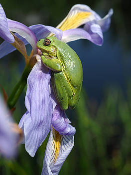 Grey Tree-Frog on Blue Flag Iris by James Peterson