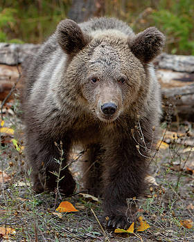 Grizzly Cub by Jerry Fornarotto