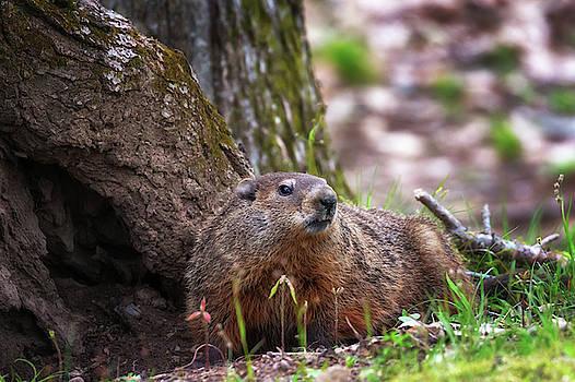 Susan Rissi Tregoning - Groundhog