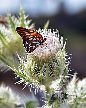 Gulf Fritillary Butterfly on a Thistle by Catherine Sherman