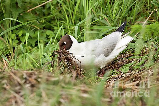 Simon Bratt Photography LRPS - Gull bird building a nest close up