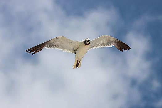 Laughing Gull Flying High by Jordan Hill