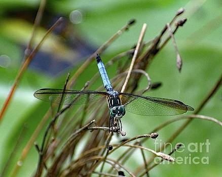 Cindy Treger - Hairy Legs - Blue Dasher Dragonfly