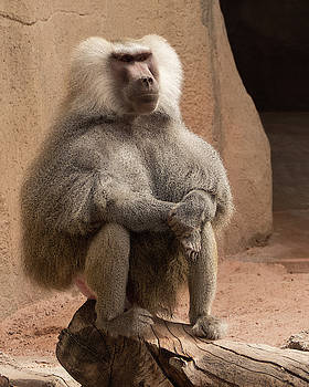 Hamadryas Baboon by Laurel Powell