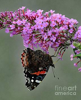Cindy Treger - Hanging On - Red-Admiral
