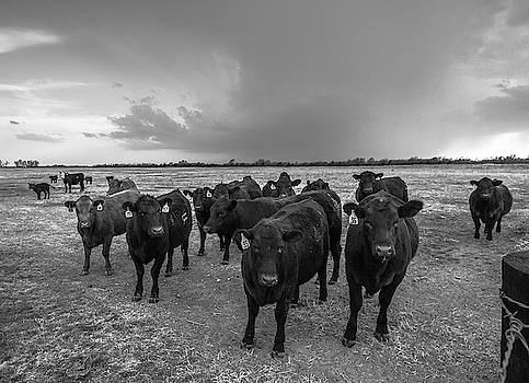 Hanging Out - Black Angus Cattle in Kansas by Southern Plains Photography