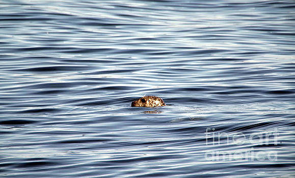 Harbor seal in the water by Jeff Swan