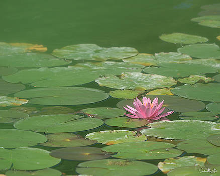 Harmonious Pink Waterlily by Sandra Day