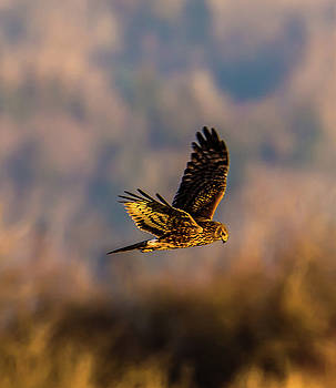 Harrier Flying Above Samish Flats by Marv Vandehey