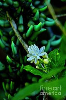 Hawaiian Pikake Jasmine by Craig Wood