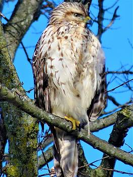 Hawk Eyes by Vijay Sharon Govender