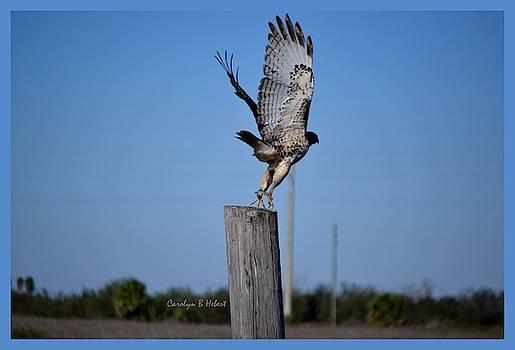 Hawk on Take Off by Carolyn Hebert