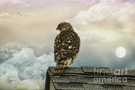 Hawk On The Roof by Tom York Images